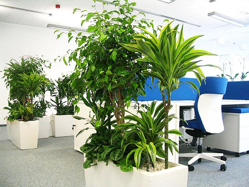 Озеленение офиса неприхотливыми растениями