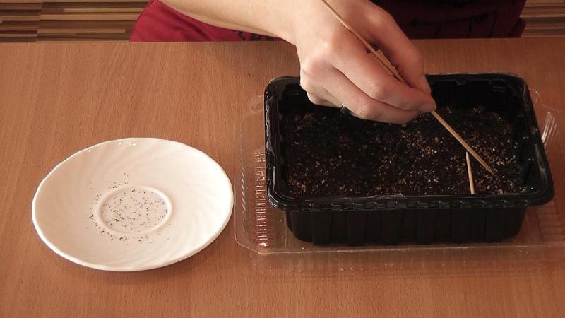 Как вырастить бонсай из семян, поверхностный посев