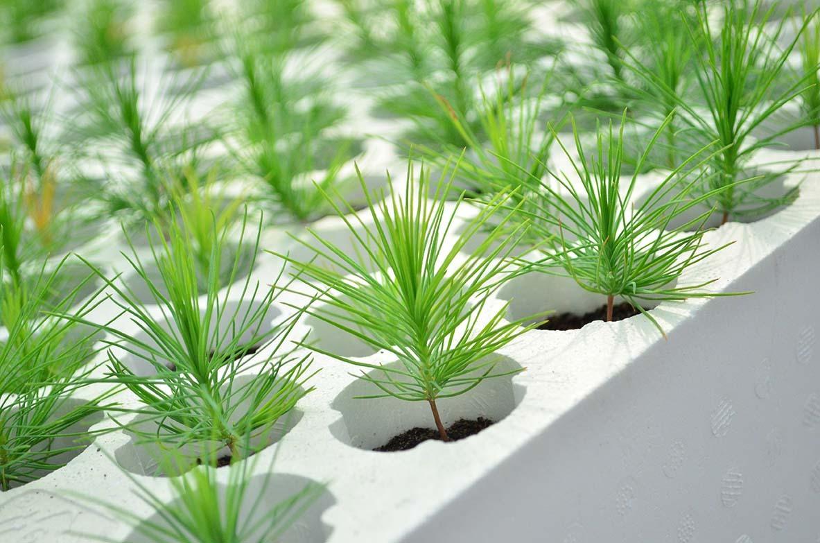 Как вырастить бонсай из семян. Хвойные.