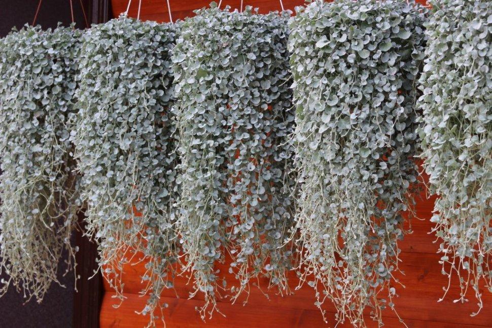 Растения для балкона, дихондра