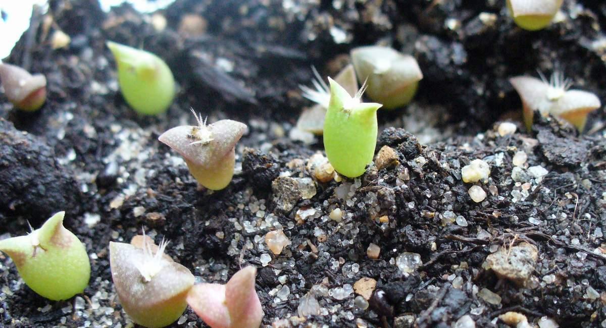 Кактусы из семян