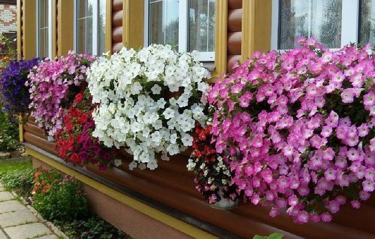 Растения для балкона, петунии