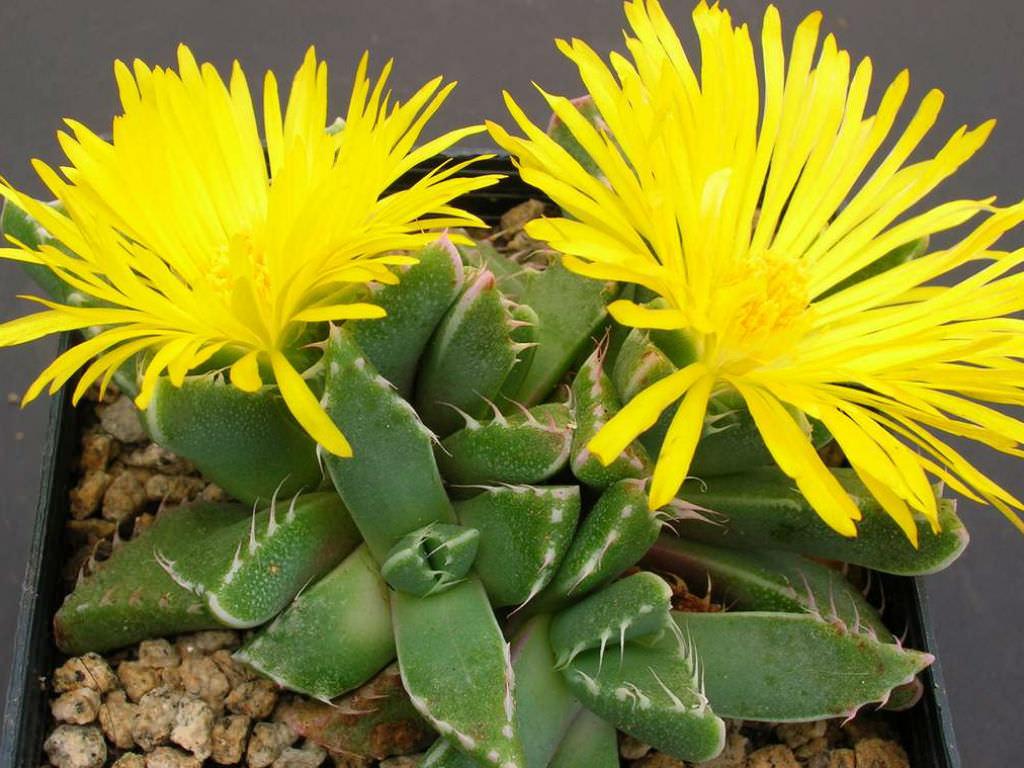 Комнатные растения - суккуленты, фаукария