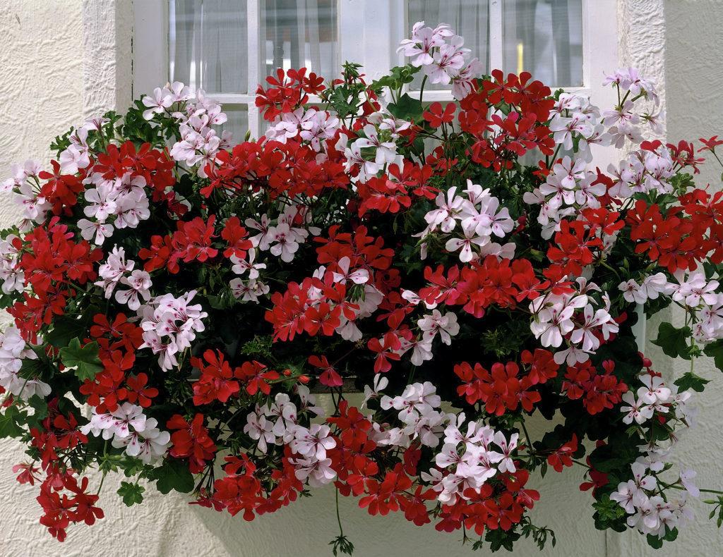 Растения для балкона, плющелистные герани