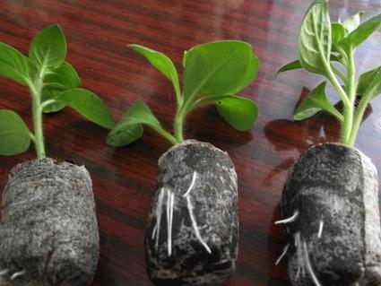 Как сохранить петунию зимой, черенки в торфяной таблетке