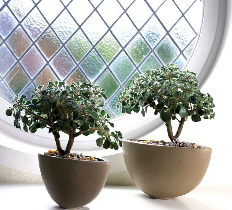Комнатные растения - суккуленты, аихризон