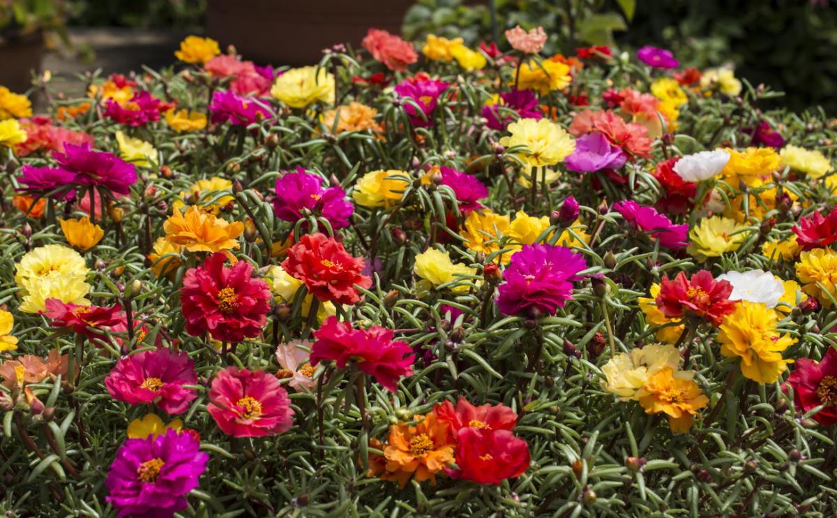 Растения для балкона, партулак
