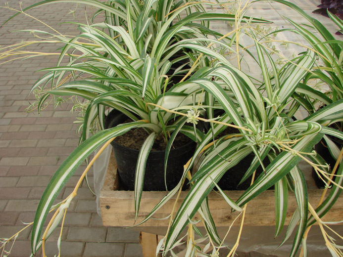 Растения для балкона, хлорофитум