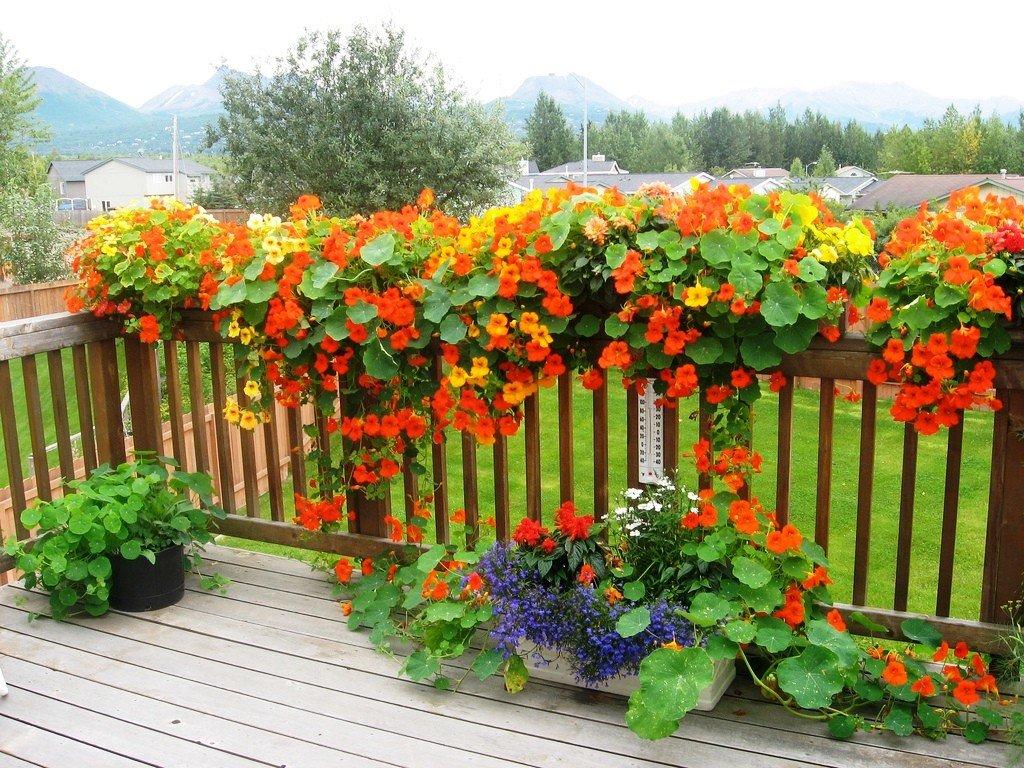 Растения для балкона, настурция