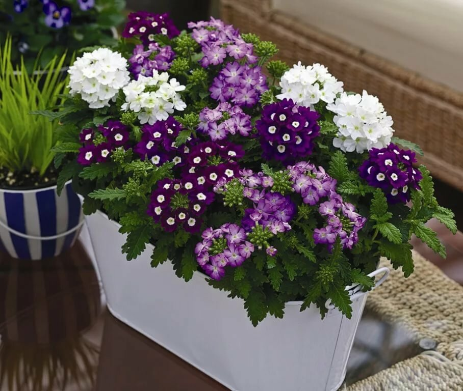 Растения для балкона, вербена