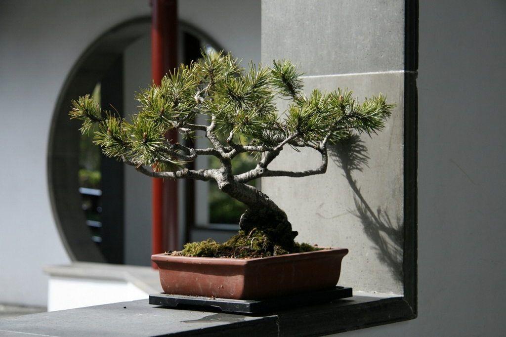 Растения в интерьере квартиры, бонсай