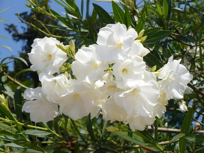 цветущий олеандр при правильном уходе