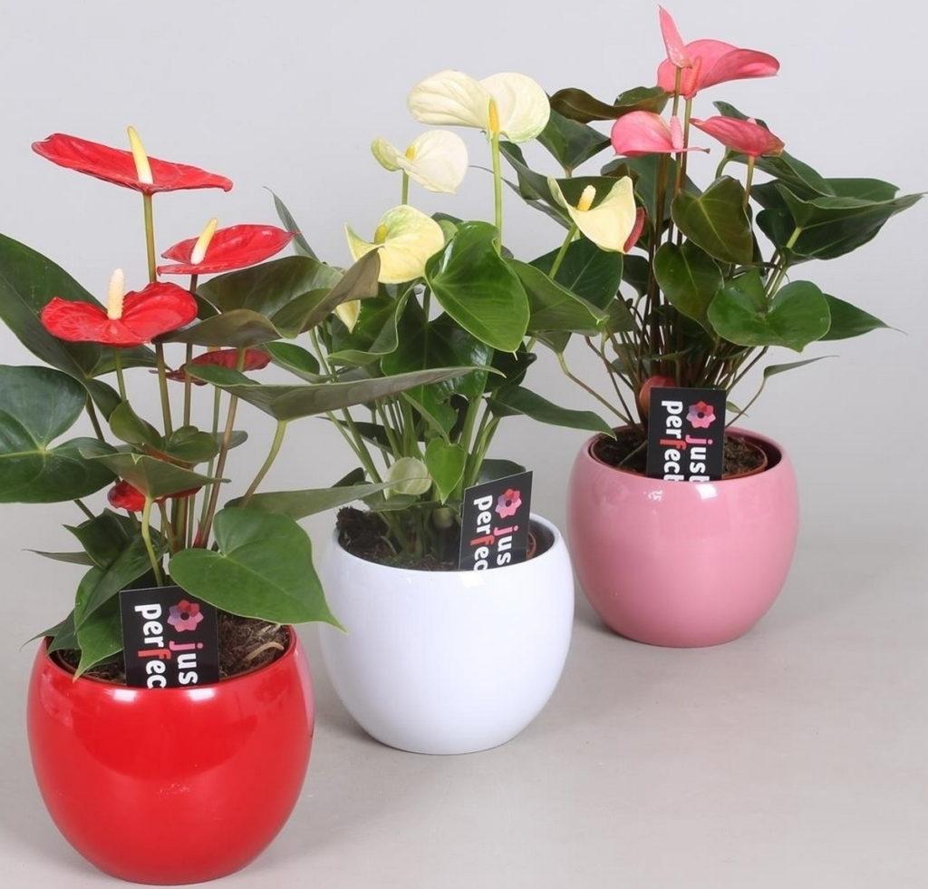 Как цветут разные сорта антуриума при правильном уходе