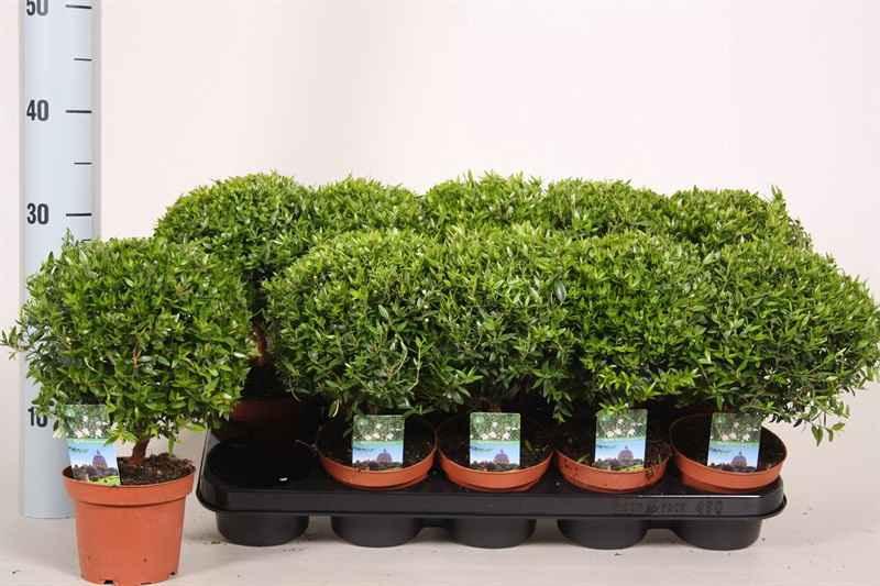 мирт, в виде маленького деревца, для выращивания в домашних условиях