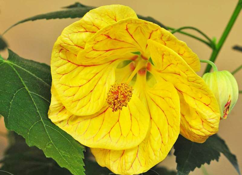 Желтый абутилон