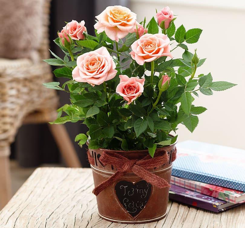 Здоровая комнатная роза