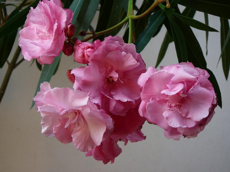 цветущий олеандр в домашних условиях