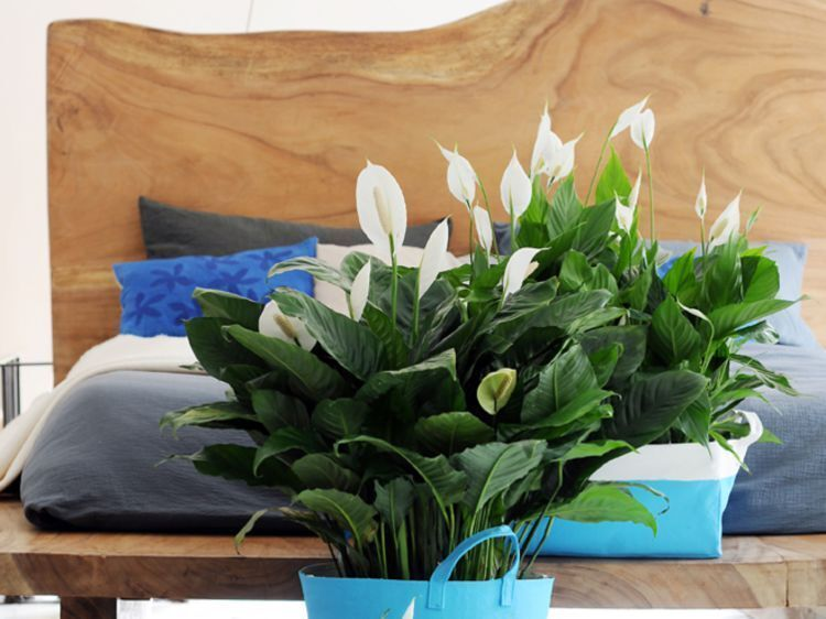 цветущие ухоженные спатифиллумы