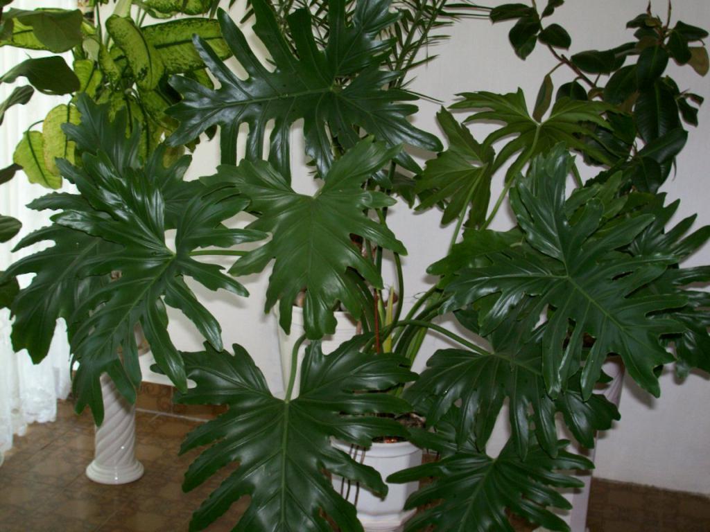 Растения для прихожей, филодендрон