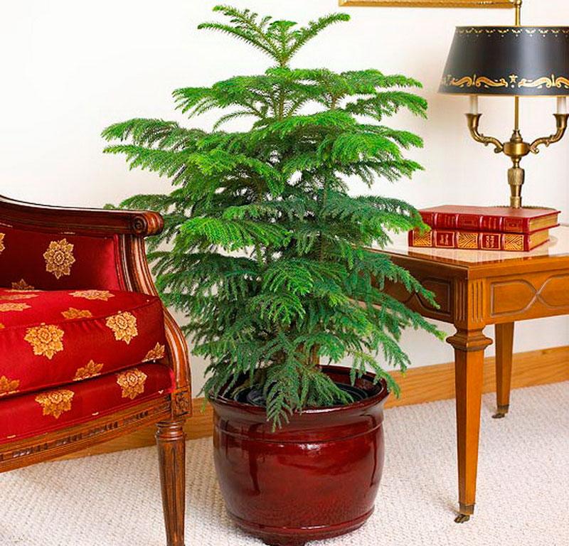 Комнатные растения для детской, Араукария