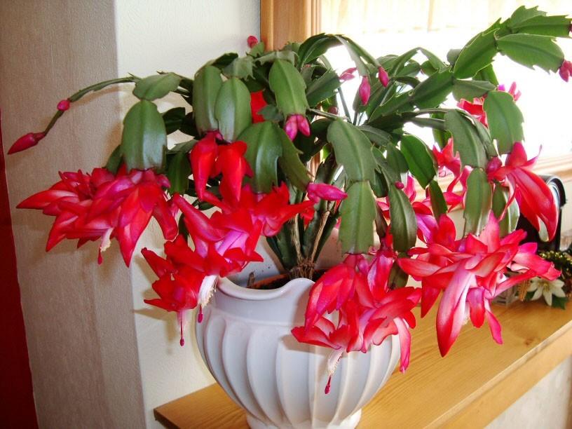 Комнатные растения для детской, шлюмбергера