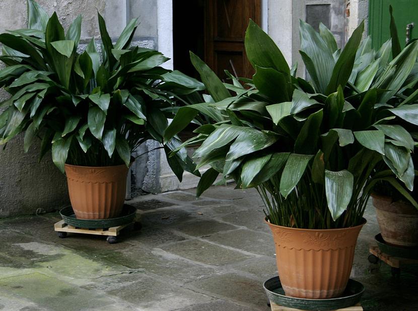 Растения для прихожей, аспидистра