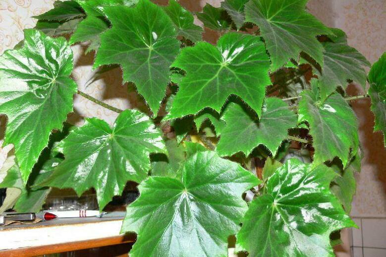 Комнатные растения для детской, бегония