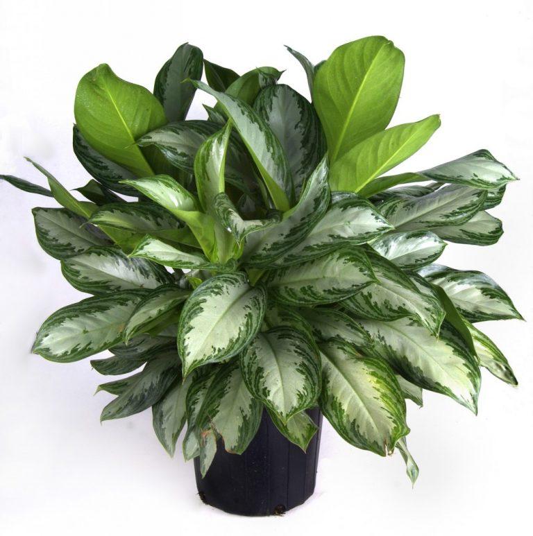 Растения для прихожей, аглаонема