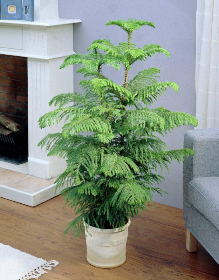 Араукария, теневыносливое растение