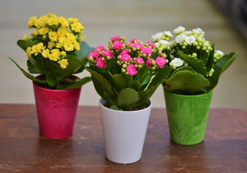 Каланхоэ Блоссфельда, Комнатные растения для детской