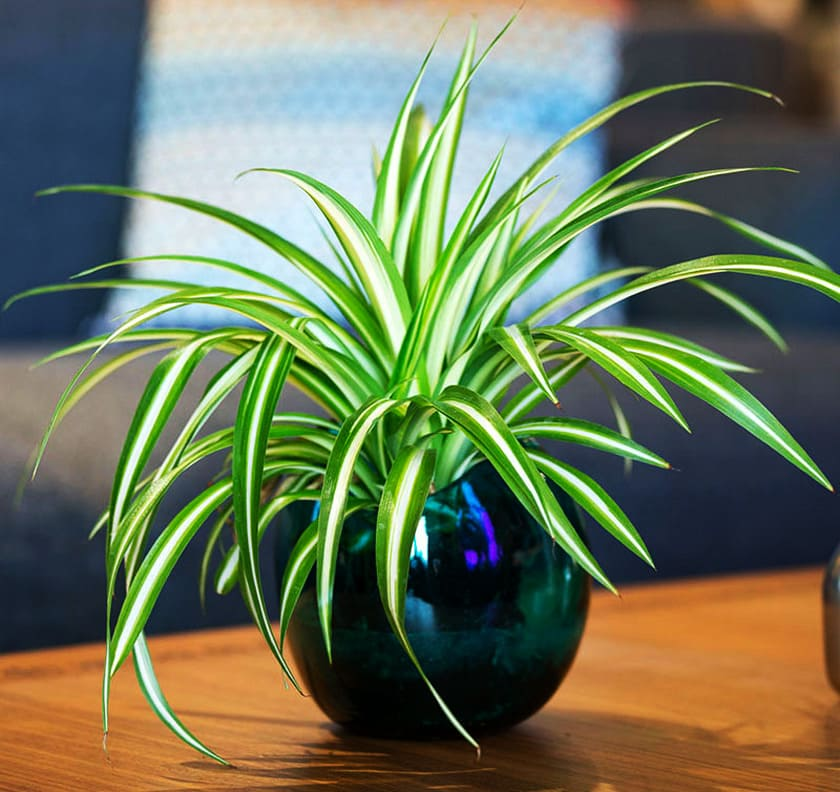 Комнатные растения для детской. Хлорофитум