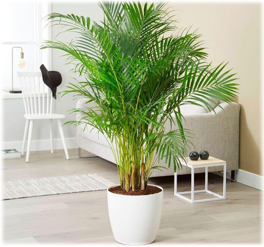 растения для зимнего сада, хамедорея