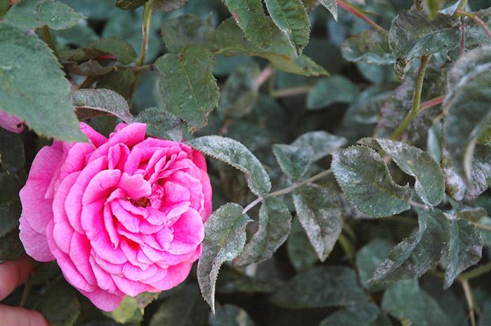 Как бороться с мучнистой росой? Мучнистая роса на розе