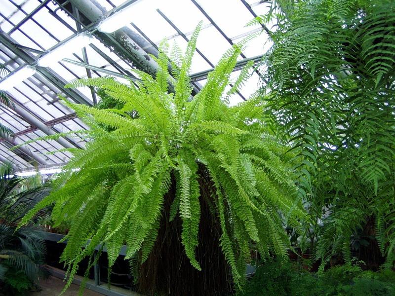 Растения для зимнего сада, нефролепис