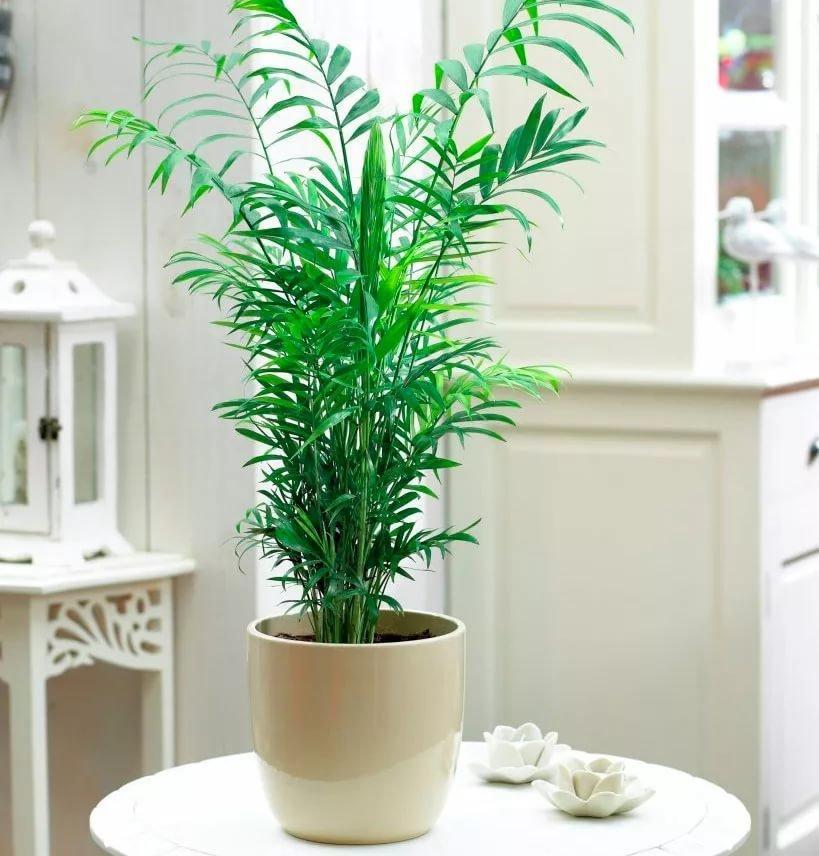 Комнатные растения для детской, Хамедорея