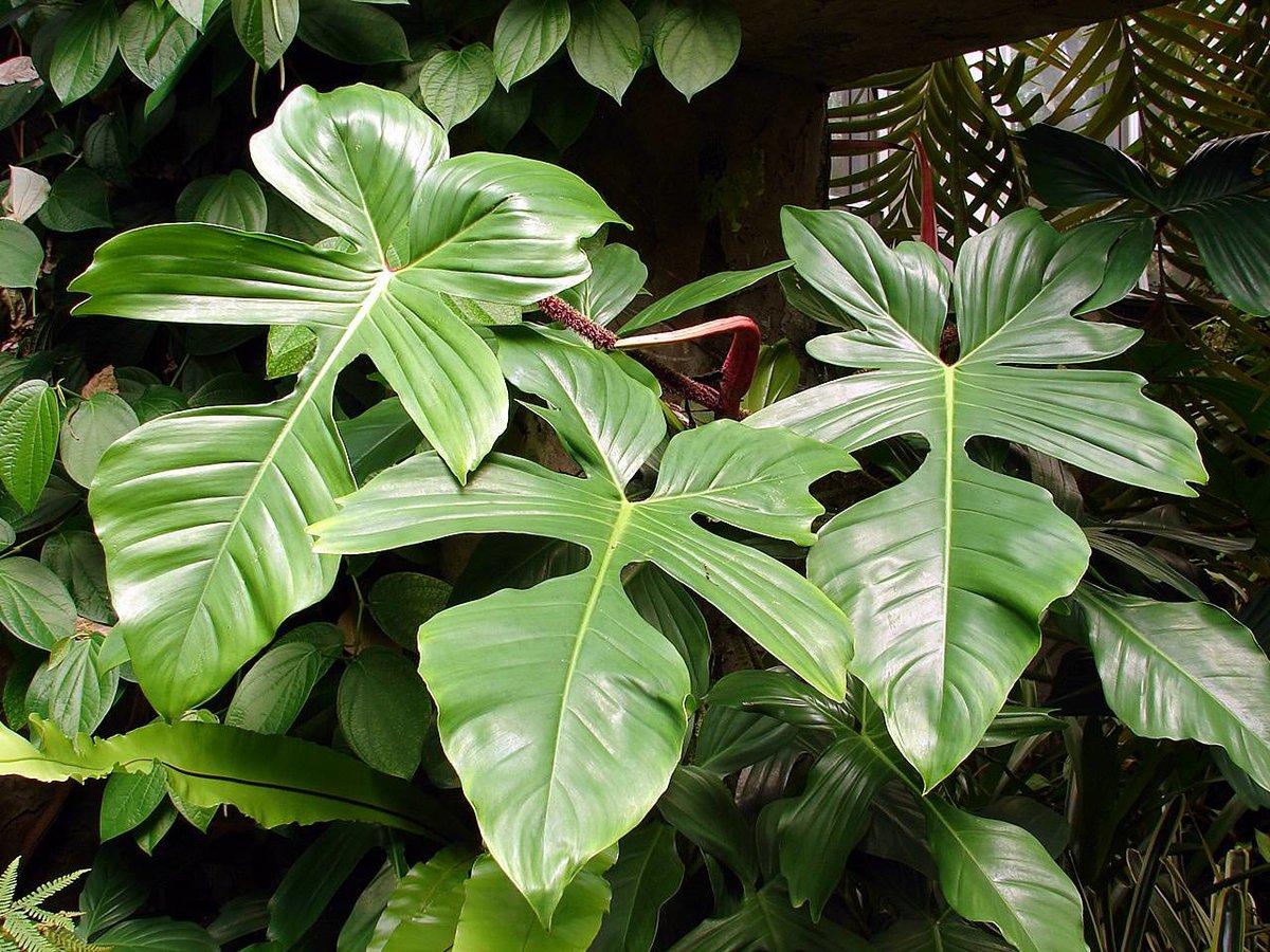 Растения для зимнего сада, филодендрон