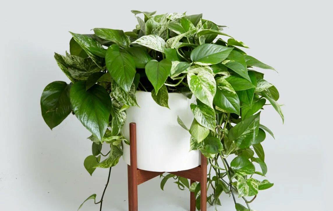 Растения для прихожей, сциндапсус