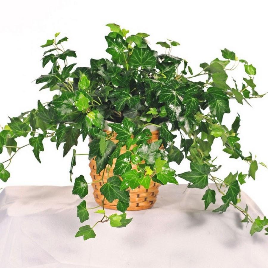 Растения для прихожей. темно-зеленый плющ
