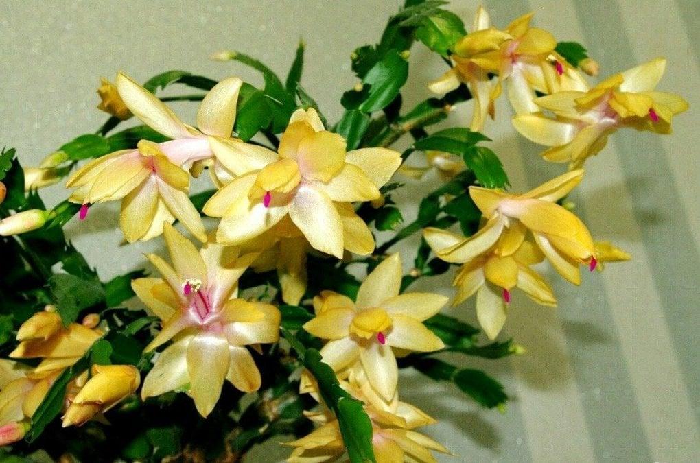 Почему не цветет декабрист (шлюмбергера)?