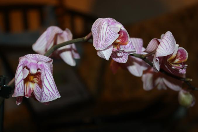Почему вянет орхидея?
