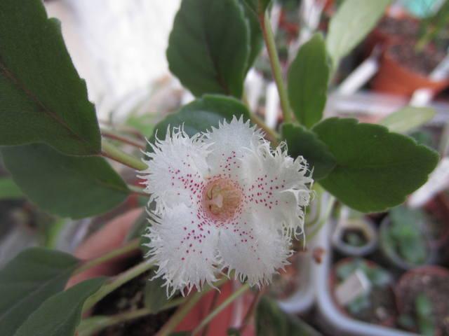 Альсобия 'Iris August'