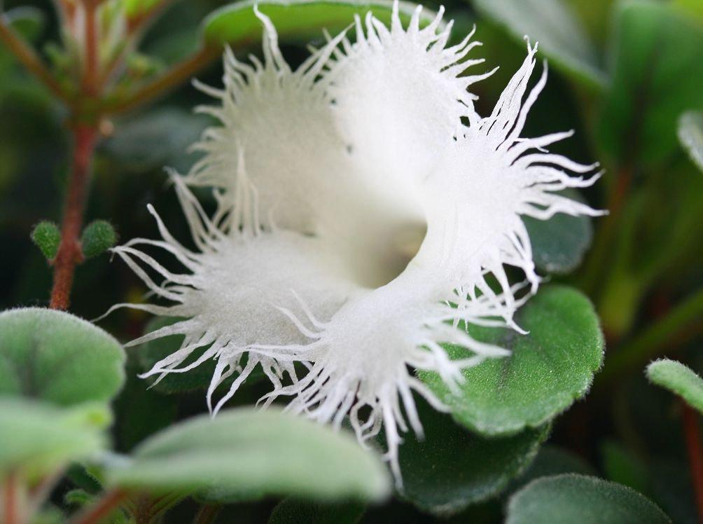 Альсобия гвоздикоцветная