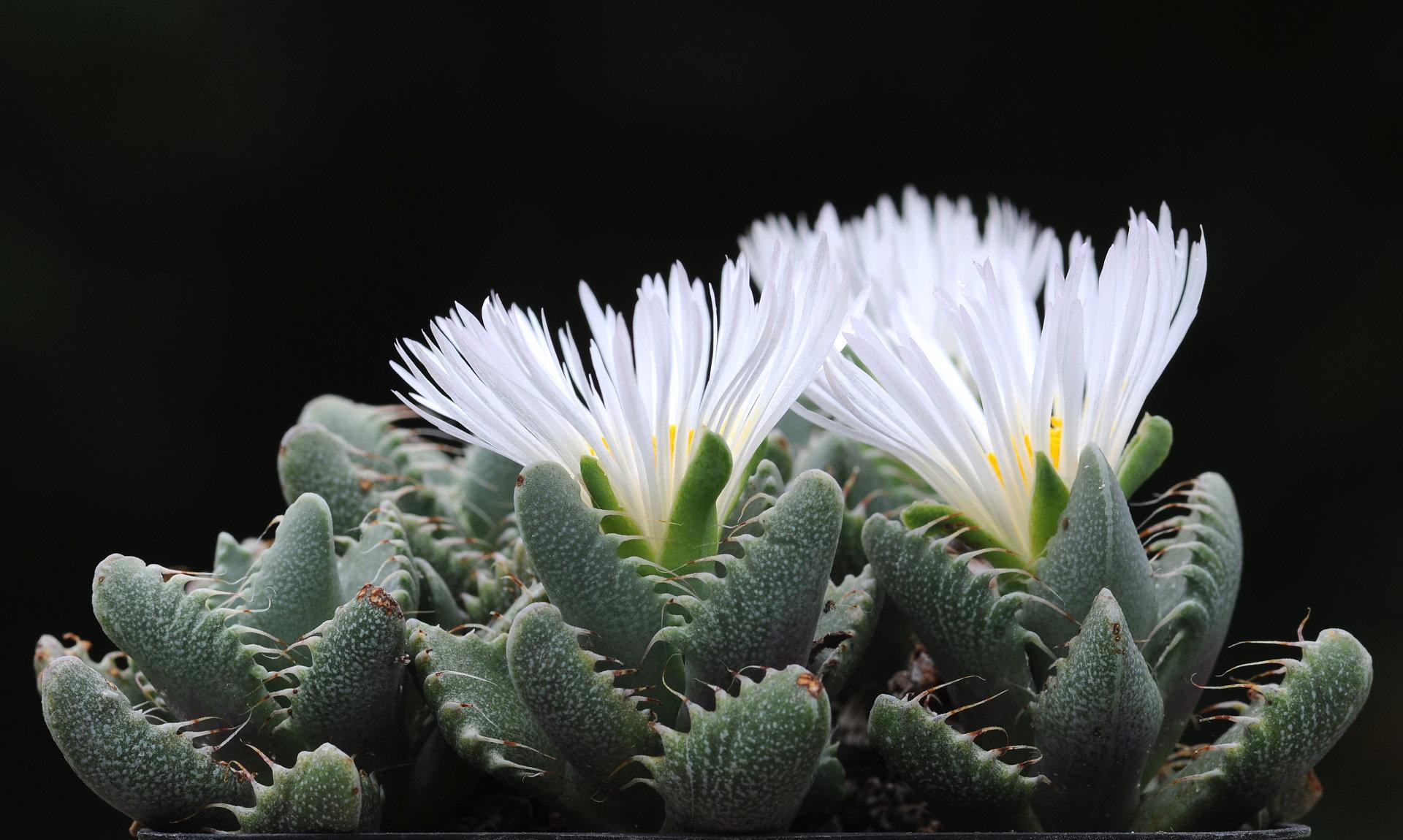 Faucaria felina subsp. candida